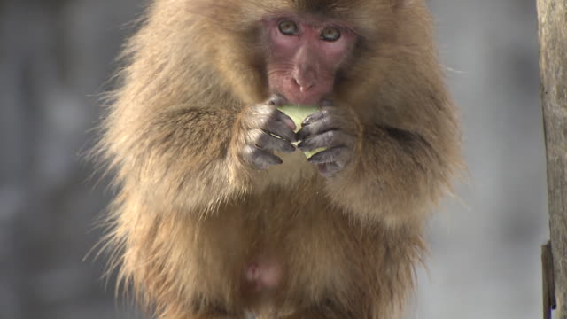 monkeys in in the snow in ishikawa, japan - ishikawa prefecture stock videos and b-roll footage