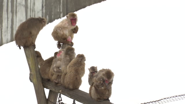monkeys in ishikawa, japan - ishikawa prefecture stock videos and b-roll footage