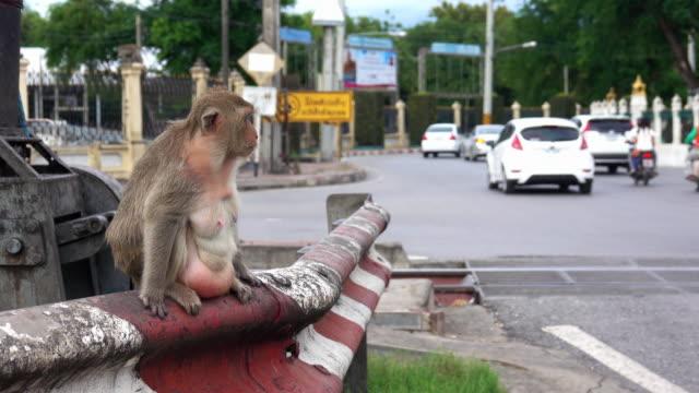 vidéos et rushes de singes de lopburi, thaïlande - thaïlande