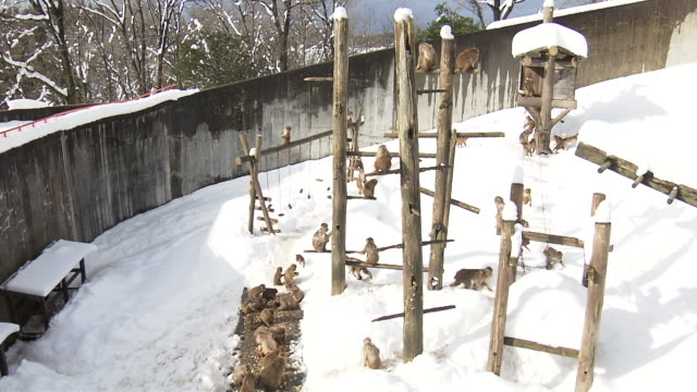 monkeys in the snow in ishikawa, japan - ishikawa prefecture stock videos and b-roll footage