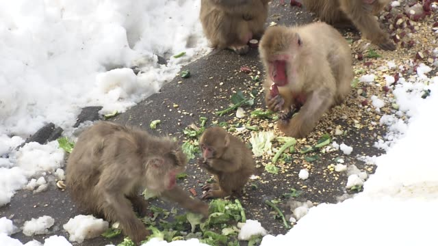 monkeys in the snow in ishikawa, japan - animal family stock videos and b-roll footage