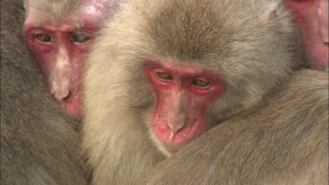 monkeys in tonosho-cho, japan huddle together to keep warm. - cinque animali video stock e b–roll