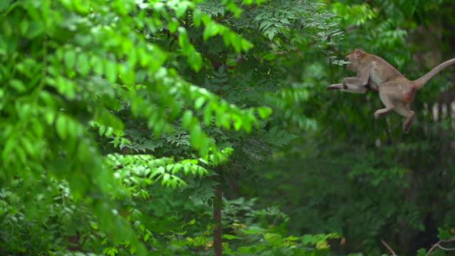 a monkey's jumping and landing in the forest, thailand - neuweltaffen und hundsaffen stock-videos und b-roll-filmmaterial