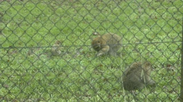 stockvideo's en b-roll-footage met 13 monkeys killed in fire at woburn safari park england bedfordshire woburn woburn safari park long shot barbary macaque monkeys in enclosure seen... - omsloten ruimte