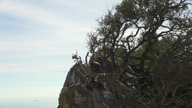 Monkeys on a Section of the Rock of Gibraltar