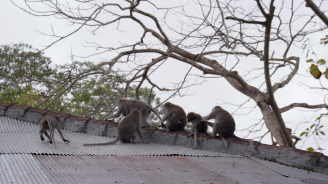 LS Monkeys On The Roof