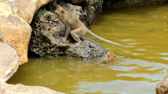 monkeys playing and swimming in pool - macaque stock videos & royalty-free footage