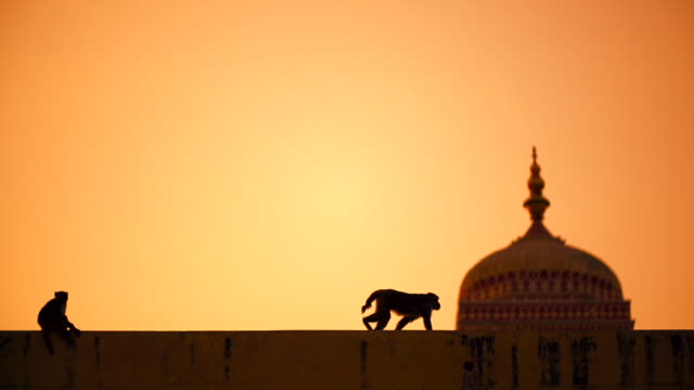 Monkeys sitting and walking on the structure at sunset in India