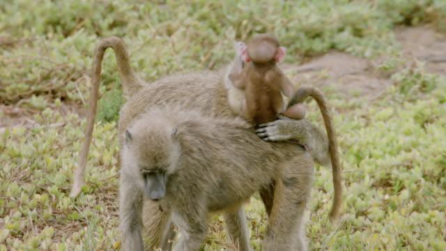 MS Monkeys with infant eating leaves / Kenya
