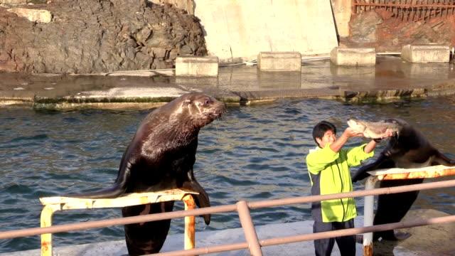 monkichi the steller sea lion gulps down an entire salmon in a show at the otaru aquarium in otaru, hokkaido, november 9, 2015 in otaru, japan. - アシカ点の映像素材/bロール