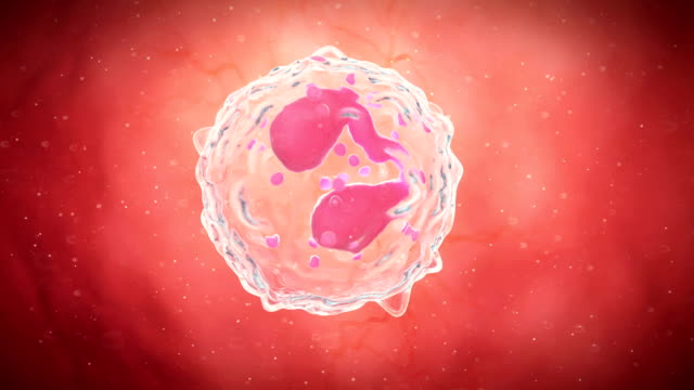 Monocyte white blood cell