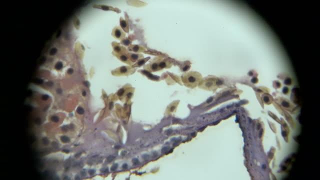 vídeos y material grabado en eventos de stock de vista de epitelio cúbico de monocapa en microscopia - micrografía de luz