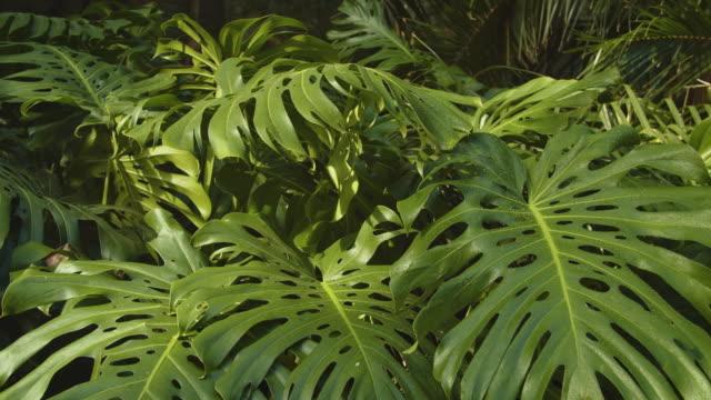 monstera-pflanze - tropischer regenwald stock-videos und b-roll-filmmaterial