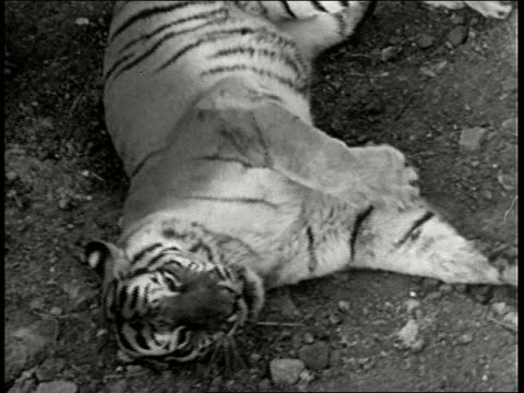 montage cu and overhead shots of lion and tiger fighting in pit cu white hunter and two indian guides watch lion wins india - 1946 stock videos & royalty-free footage