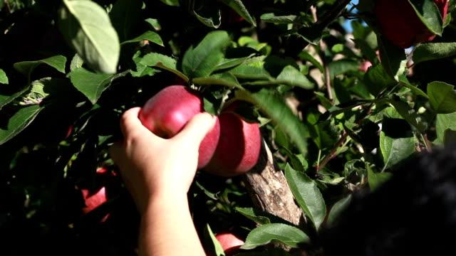Montage: apple picking