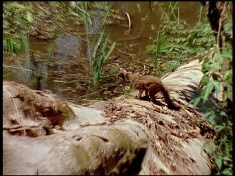 montage of a coatimundi foraging in underbrush in the amazon rain forest. - foraging stock videos & royalty-free footage