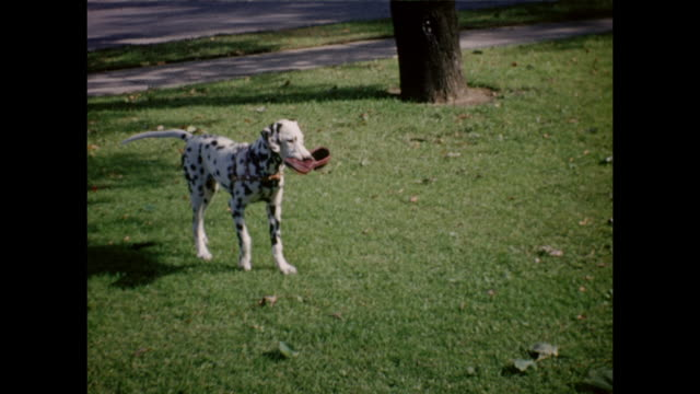 a montage of a woman playing with her dalmation dogs. one dog steals her shoe to play with it. - dalmatian dog stock videos and b-roll footage