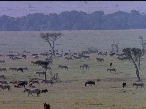Montage of African animals roaming across the veldt at goldenhour