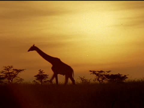 montage of giraffes, lions, elephants, and rhinos during golden-hour in africa. - golden hour stock videos & royalty-free footage