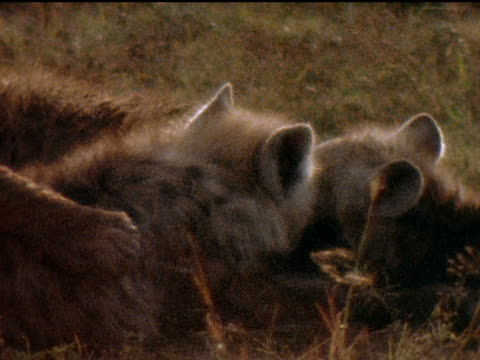 Montage of hyena mothers and babies on the African grasslands