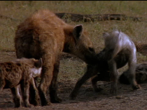 Montage of hyenas sniffing and licking each other