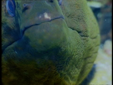 montage of tropical fish mouths opening and closing, cu - moray eel stock videos & royalty-free footage