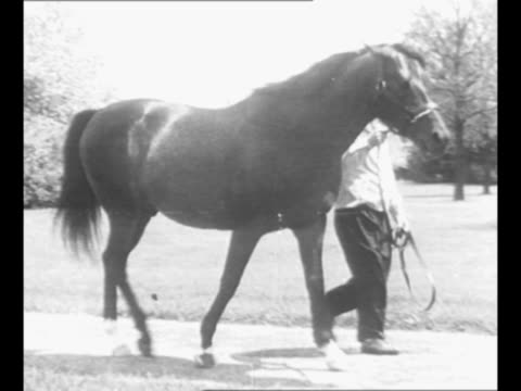 Montage trainer leads stallion Bull Lea father of racehorse Citation as they walk outdoors / mare Hydroplane II Citation's mother walks with her...