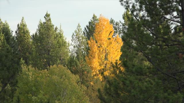 vídeos y material grabado en eventos de stock de montana golden aspen amid pines.mov - pinar