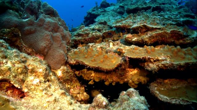 montastraea franksi プレートコーラル - タークスとケイコス諸島点の映像素材/bロール