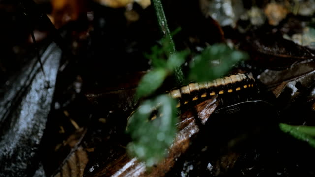 monteverde cloud forest, costa rica: centipede walking in the tropical rain forest floor - costa rica stock videos & royalty-free footage