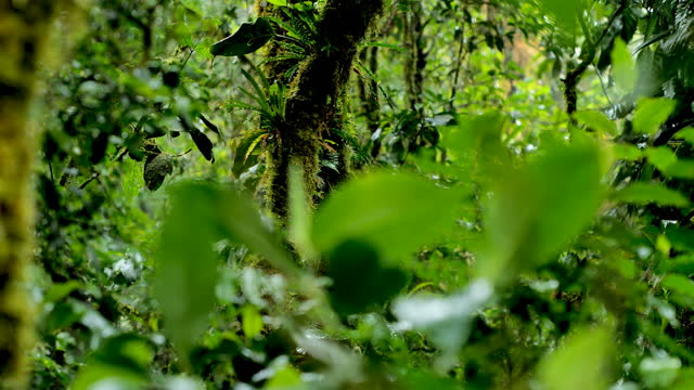 monteverde cloud forest, costa rica: foggy, moss covered treeline in the rain. - tree trunk stock videos & royalty-free footage
