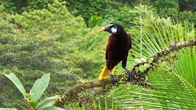 montezuma oropendola, perched on a branch, laguna del lagarto lodge, costa rica - animal attribute stock videos and b-roll footage
