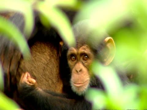 vídeos y material grabado en eventos de stock de ms of 18 month old chimp holding onto mother - chimpancé común
