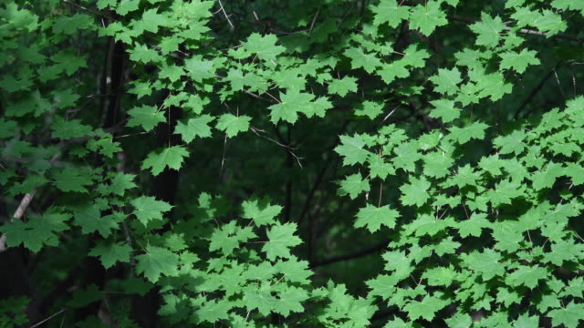 montreal,canada: aerial view of a maple tree with green fresh leaves at the beginning of spring - 1965 stock videos & royalty-free footage