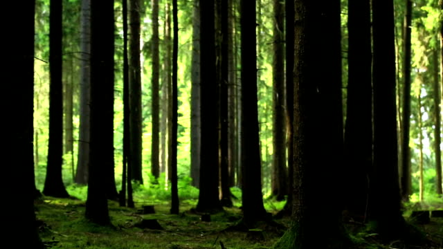 moody forest scene pan - spruce stock videos & royalty-free footage