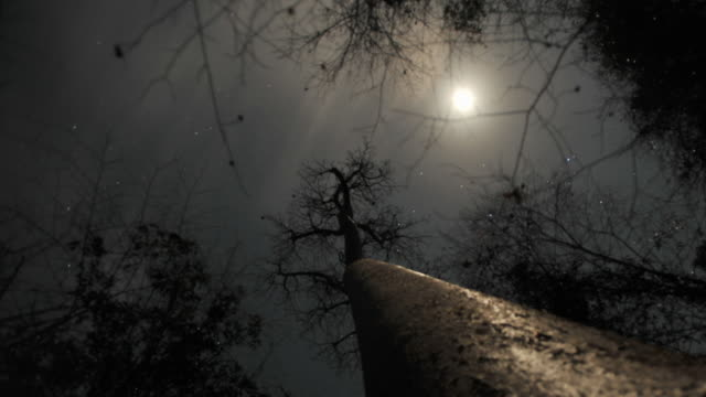Moon and stars drift in night sky over baobab (Adansonia) tree, Madagascar