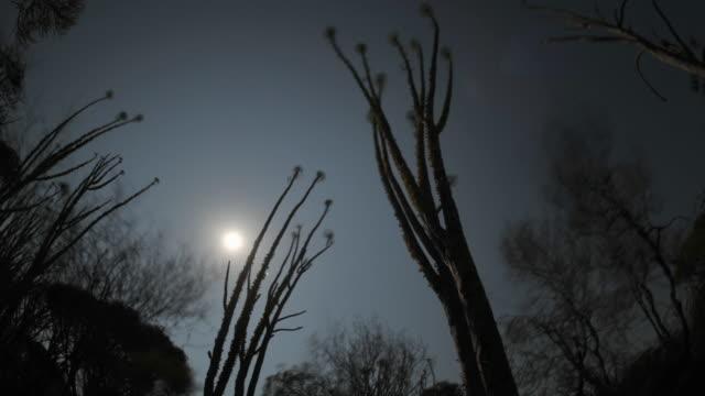 Moon drifts in night sky over Madagascar ocotillo (Alluaudia) in spiny forest, Madagascar