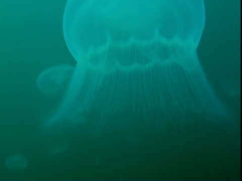 a moon jelly fish undulates in alaskan waters. - partiell lichtdurchlässig stock-videos und b-roll-filmmaterial