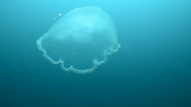 moon jelly. - moon jellyfish stock videos & royalty-free footage