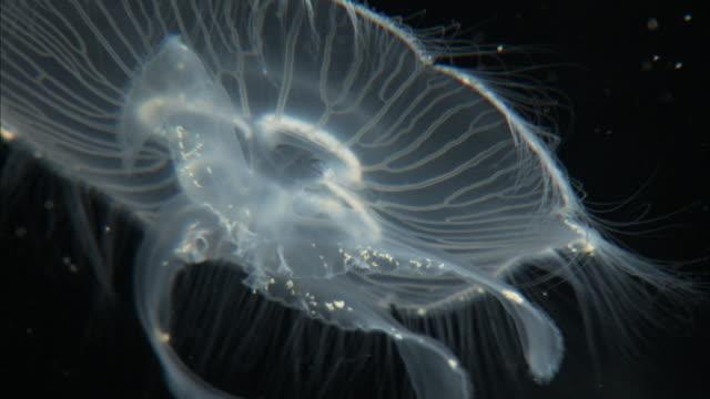 cu moon jellyfish aurelia aurita swimming - moon jellyfish stock videos & royalty-free footage