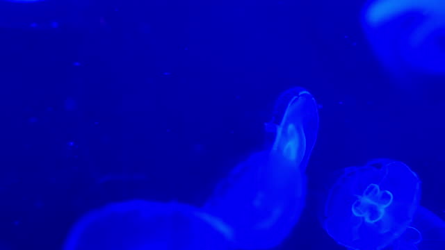 4k moon jellyfish in aquarium - aquatic organism stock videos & royalty-free footage