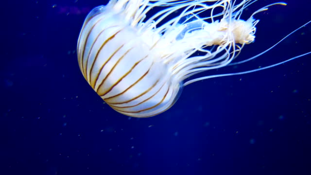 4K Moon Jellyfish in Aquarium