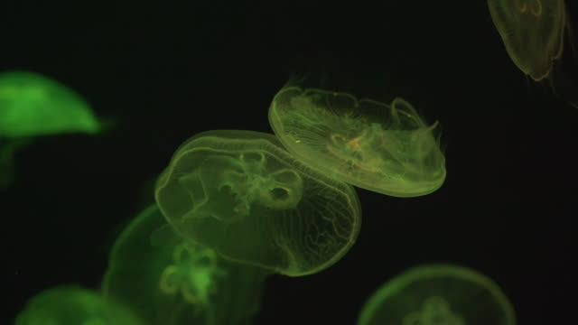 moon jellyfish under multi color light - sea life park stock videos & royalty-free footage