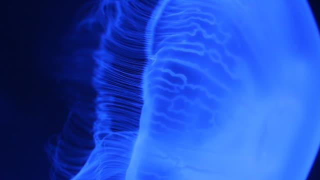 hd : moon jellyfish - moon jellyfish stock videos & royalty-free footage