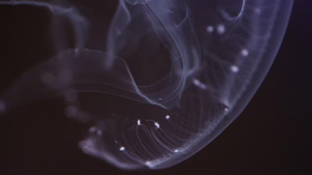 moon jellyfish - jellyfish stock videos & royalty-free footage