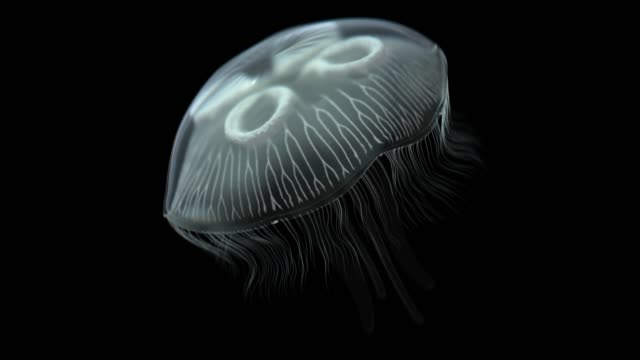 moon jellyfish with alpha channel - black background stock videos & royalty-free footage