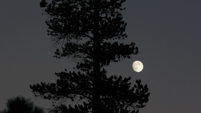 tl moon rising in dark sky, silhouetted pine tree in foreground, yosemite national park, california - kieferngewächse stock-videos und b-roll-filmmaterial