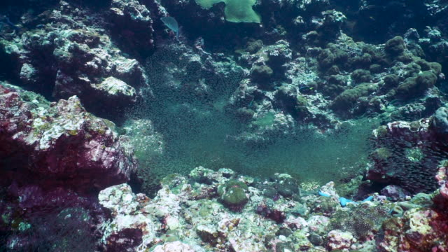 vídeos y material grabado en eventos de stock de moon wrasse (thalassoma lunare) cazando el proceso de selección natural de la naturaleza de los peces de cristal - hermafrodita