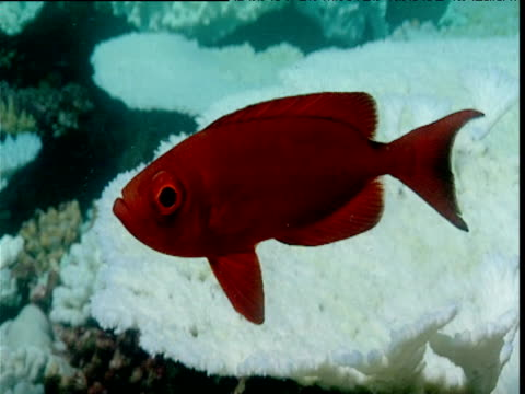 moontail bullseye in front of bleached coral, maldives - animal exoskeleton stock videos & royalty-free footage