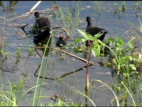 vidéos et rushes de gallinule poule-d'eau en famille - quatre animaux